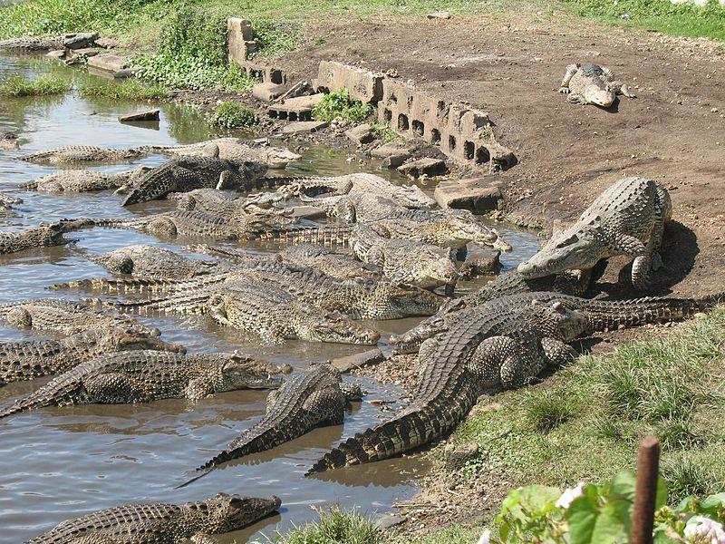 Criadero de cocodrilos en la ciénaga de Zapata