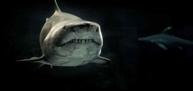El tiburón blanco es poco frecuente en aguas de Cuba