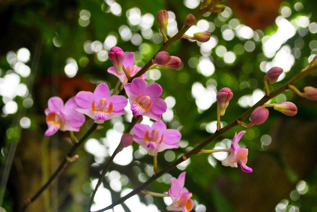 orquídeas cubanas