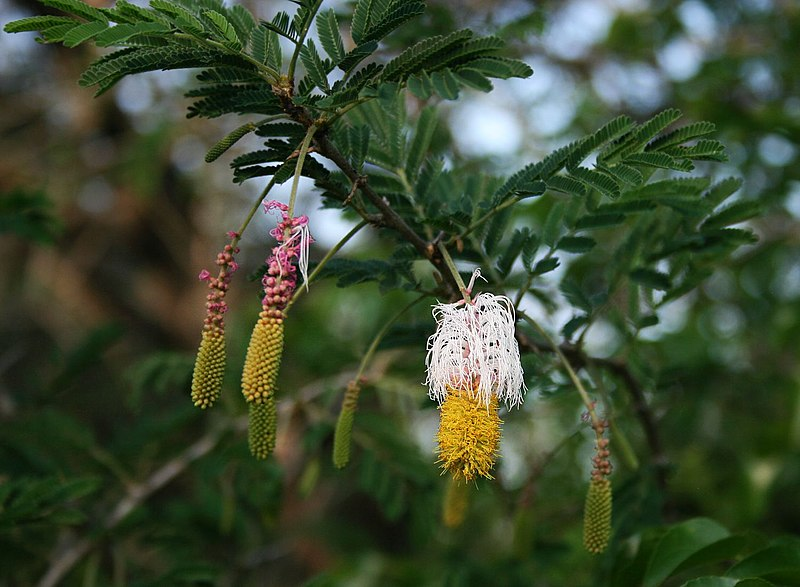 Flor y frutos de marabú
