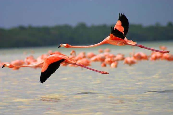 ¿Sabías que la leyenda del Ave Fénix tuvo su origen en los bellos flamencos rosados que tanto abundan en Cuba?