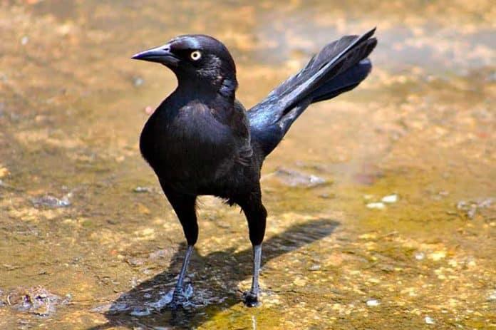 Así es el toti, el pájaro negro al que más refranes y culpas le echan en Cuba
