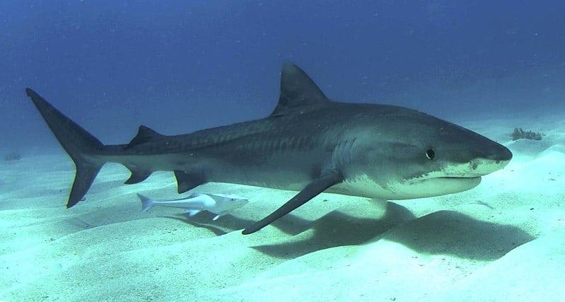 La historia real de Don Pepe, el tiburón asesino del Oriente cubano