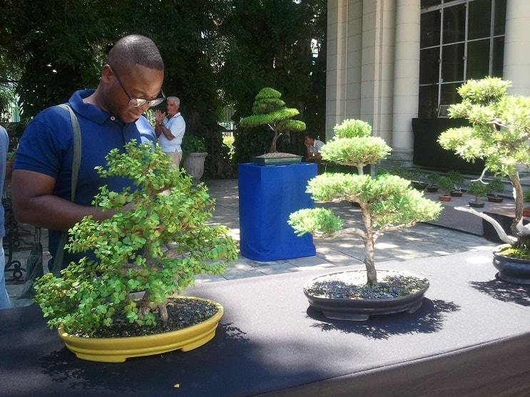 El milenario arte de cultivar bonsáis se convierte en un negocio sumamente rentable en Cuba