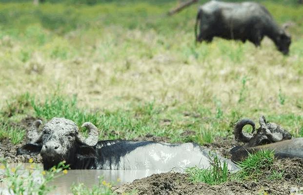 """Búfalos, de animal exótico en Cuba a """"especie invasora"""" (+ Fotos)"""