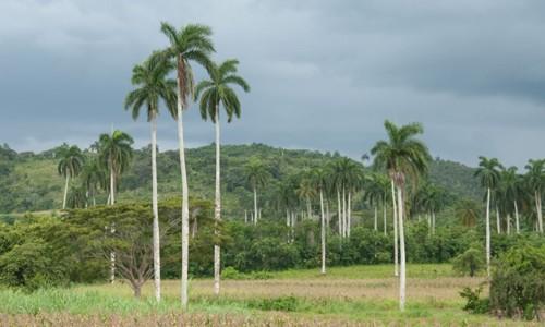 ¿Por qué la palma real es cuatro veces santa en Cuba?