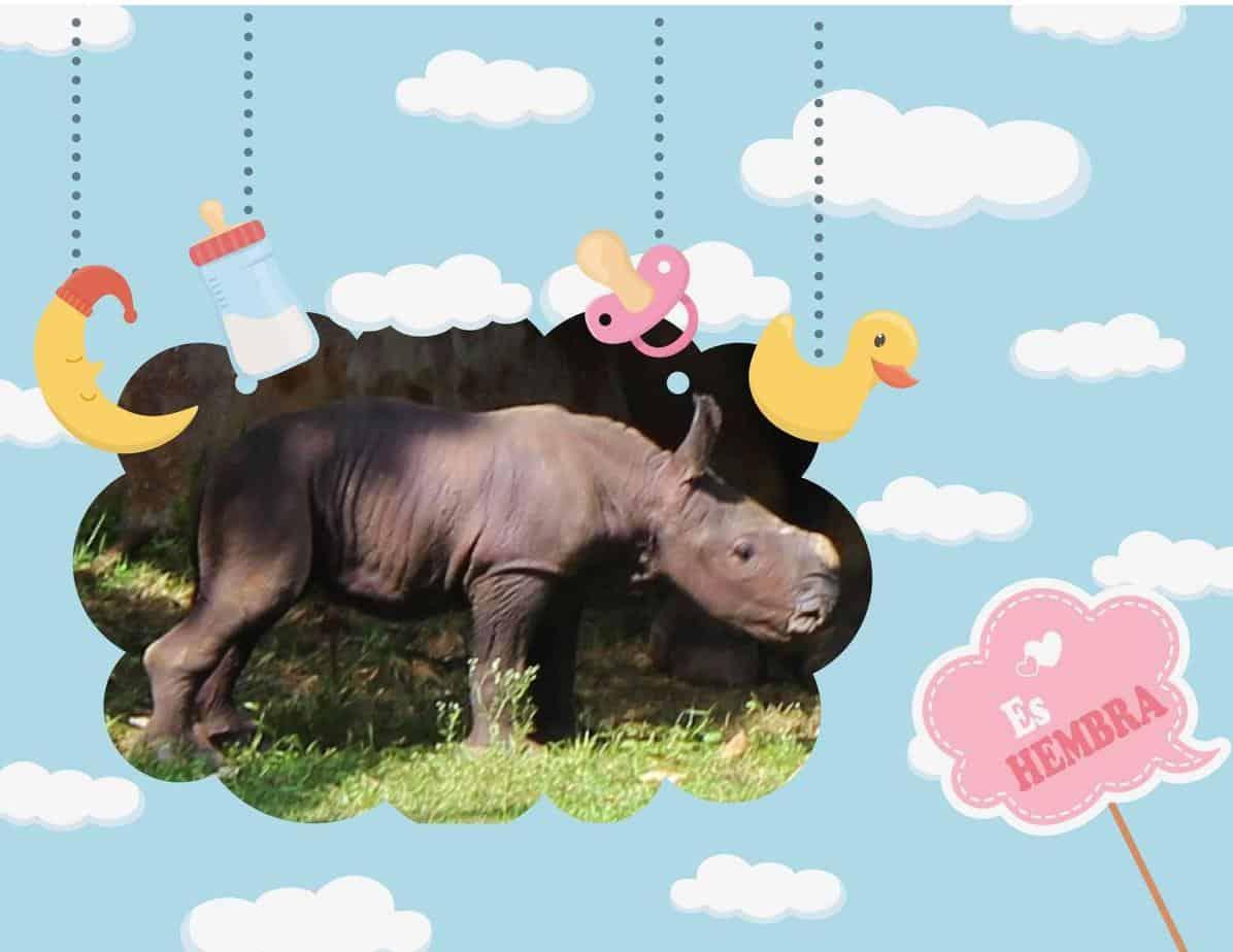 Nace rinoceronte blanco en Cuba